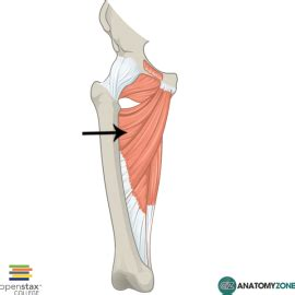 Muscles of hip and thigh - Kinesiology with Rodrigo Villar