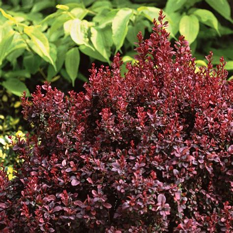 Concorde Barberry | Spring Meadow - wholesale liners