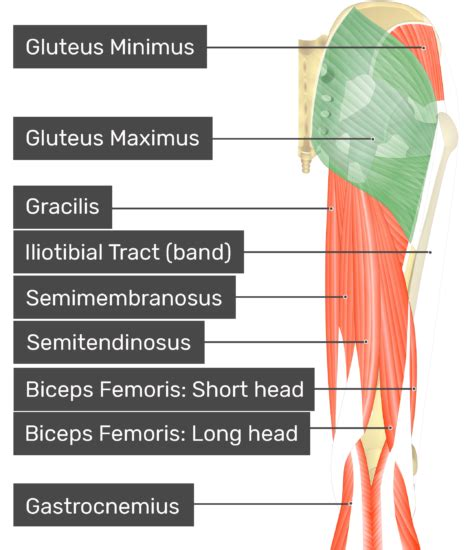 Gluteus Maximus - Attachments, Actions & Innervation