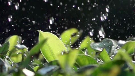 Green Plants in the Rain,slow Stock Footage Video (100%