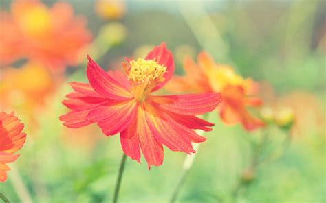 Cosmos Autumn Flower Wallpapers   HD Wallpapers   ID #14702