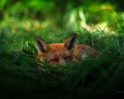 In the Foxhole | Animals beautiful, Animals, Cute animals
