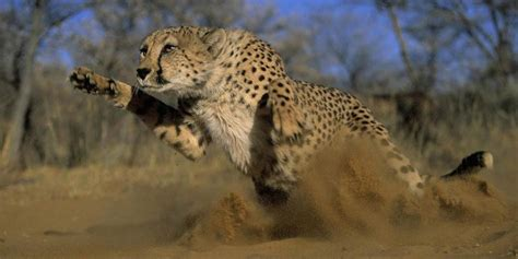 Cheetah – the fastest land animal in the world