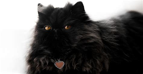 What Are The Types Of Black Cat Breeds?   Petfinder