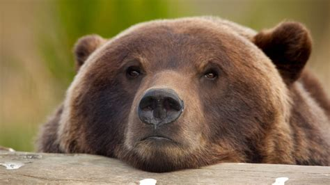 We're Putting Grizzlies in the Crosshairs