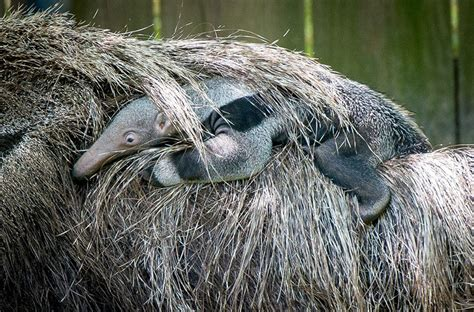 An Adorable Baby Anteater Was Born in the Houston Zoo